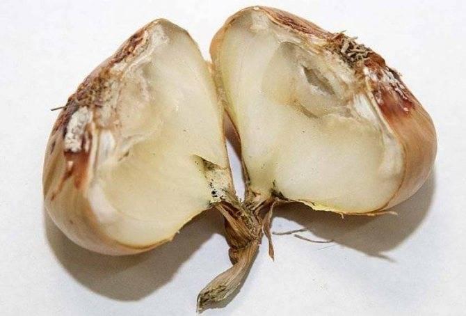 Почему гниет лук в огороде и при хранении и как избежать этой проблемы