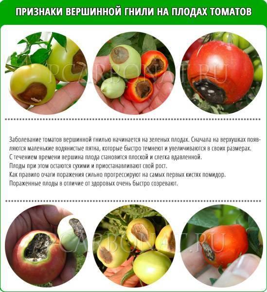 Вершинная гниль томатов — профилактика и способы борьбы