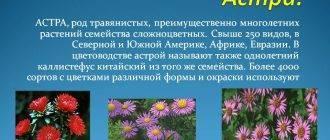 Пионовидная астра: виды и 3 лучших сорта, выращивание, уход
