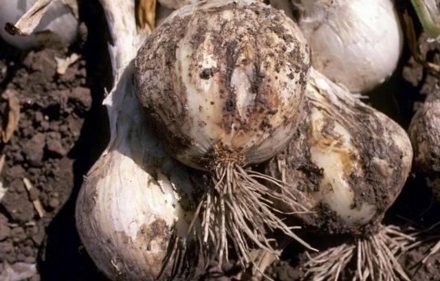 Как бороться с болезнями и вредителями репчатого лука