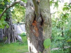Обнаружили дупло в яблоне: чем это грозит, как быстро решить проблему