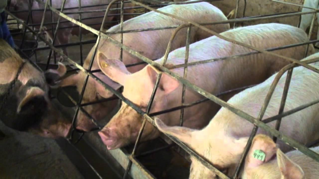 Спаривание (случка) свиней — описание процедуры