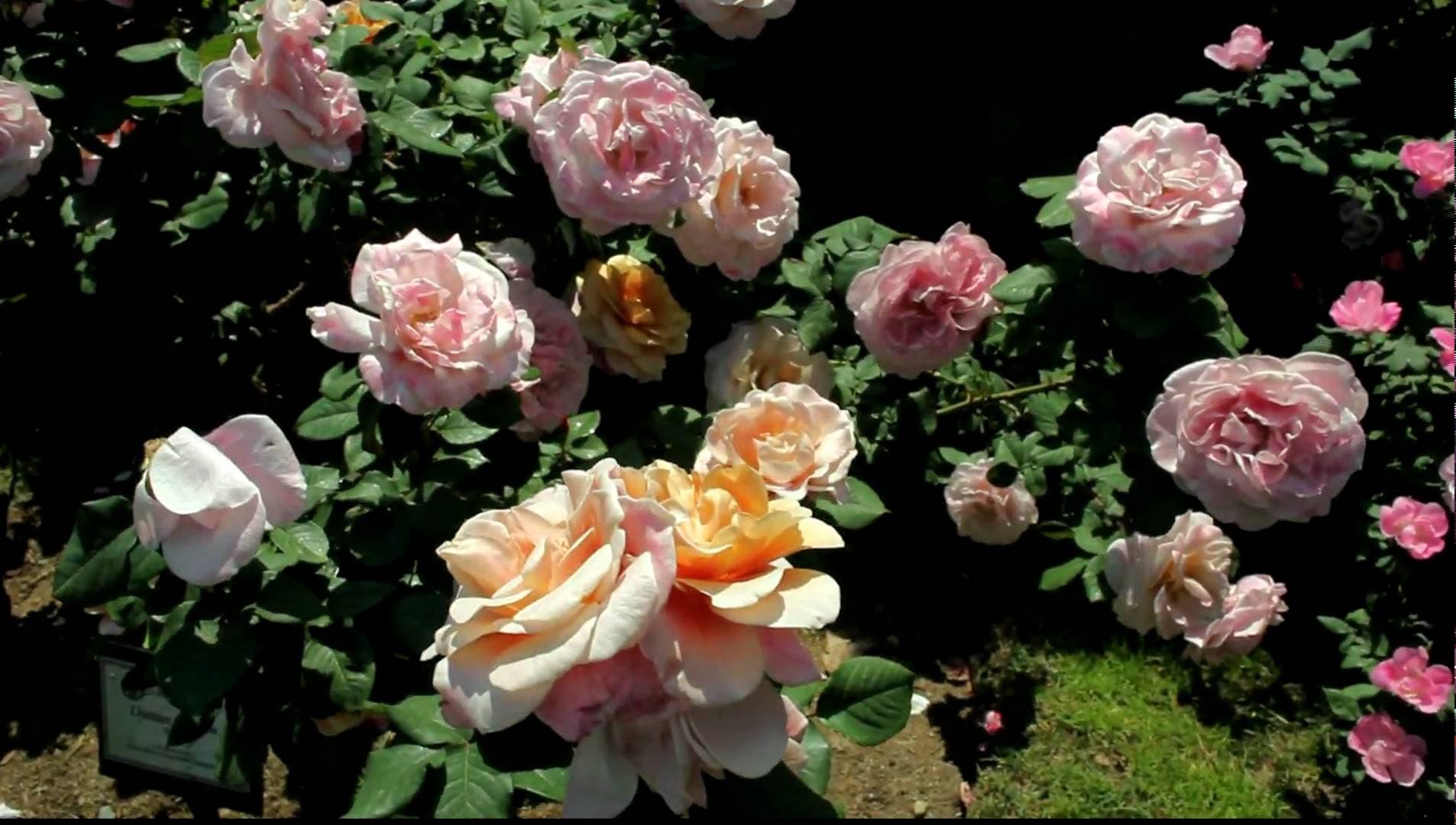 Описание лучших сортов розы грандифлора, технология выращивания