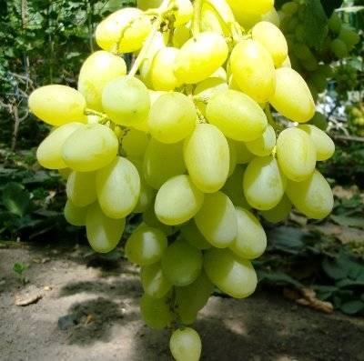 Молодой сорт для тех, кто любит послаще — виноград «розмус»
