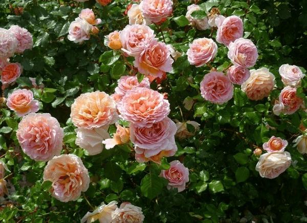 Роза айс фо ю (rose eyes for you)