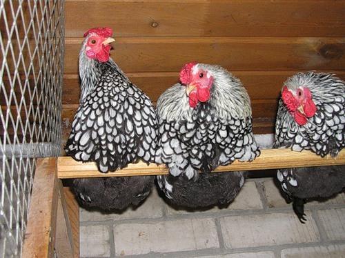 Виандот порода кур