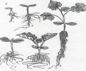 """Как правильно окучивать растения на грядках – все """"за"""" и """"против"""""""