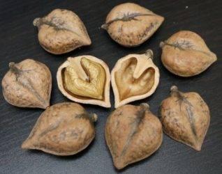 Ланкастерский орех посадка и уход в подмосковье