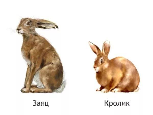Чем заяц отличается от кролика, сравнение видов и возможно ли скрещивание
