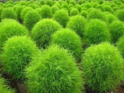 Растение кохия (летний кипарис): выращивание рассадой и из семян в открытом грунте