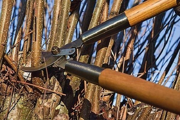 Как правильно осенью обрезать лещину и способы формирования кроны, схема