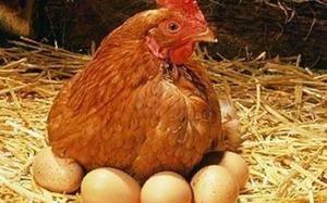 Брачные игры в курином семействе. как происходит процесс спаривания и что делать, если петух не оплодотворяет яйца?