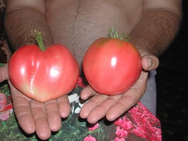 Томаты пиноккио — урожайная сказка на ваших грядках