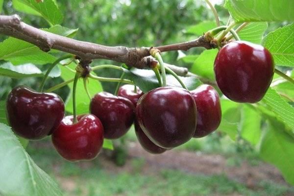 Популярный вишневый сорт морозовка