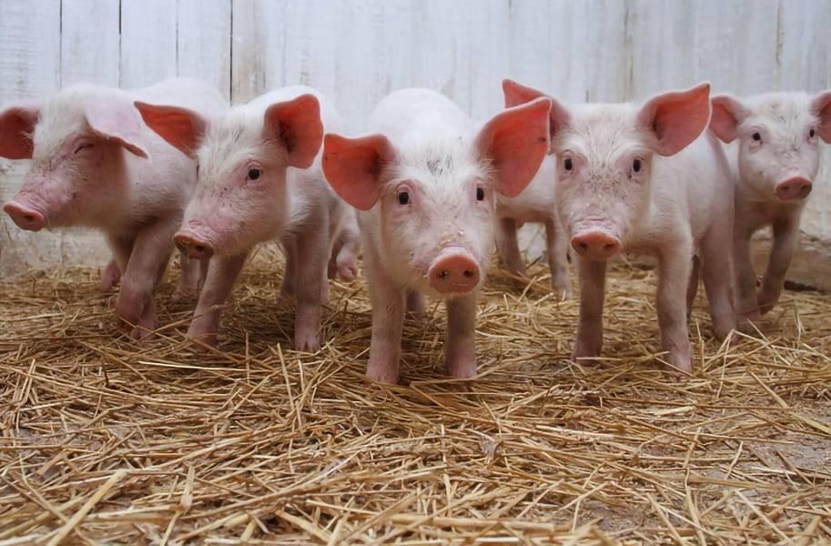 Витамины для свиней: их виды, особенности и советы по применению