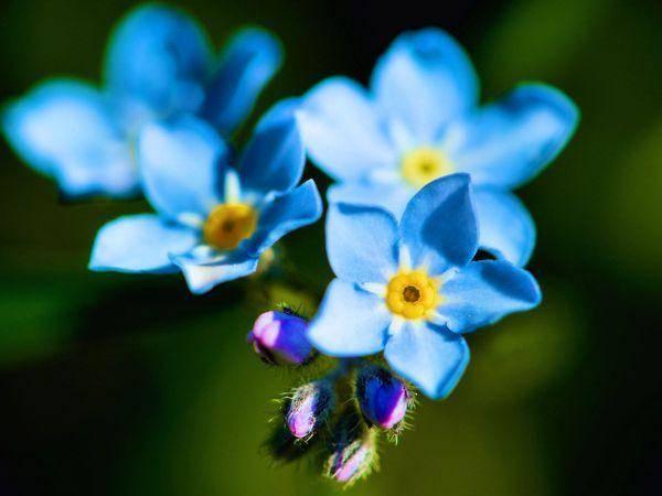 Как вырастить из семян альпийскую незабудку для своей клумбы