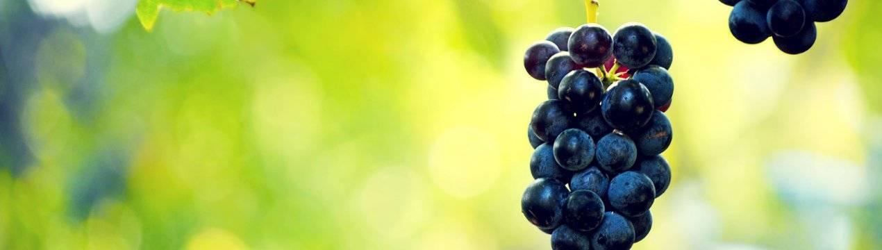 Тля на винограде — чем обработать