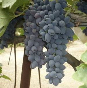 Виноград «зилга»: описание сорта, характеристика, отзывы