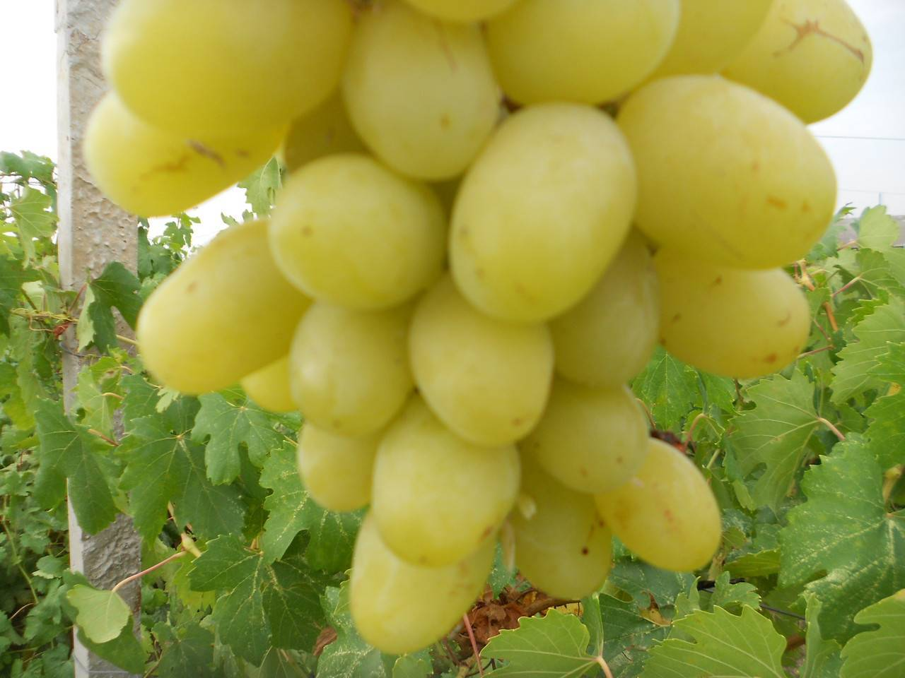 Обзор сорта винограда ландыш
