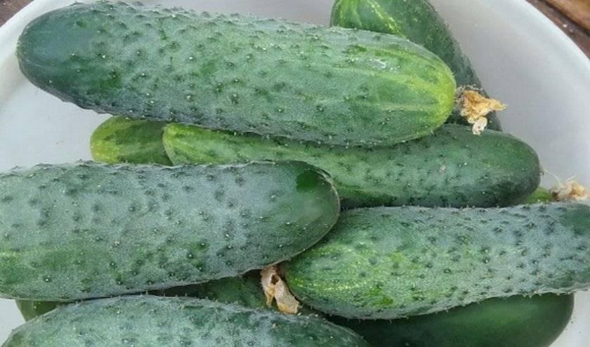 Огурец «паратунка»: особенности выращивания и уход
