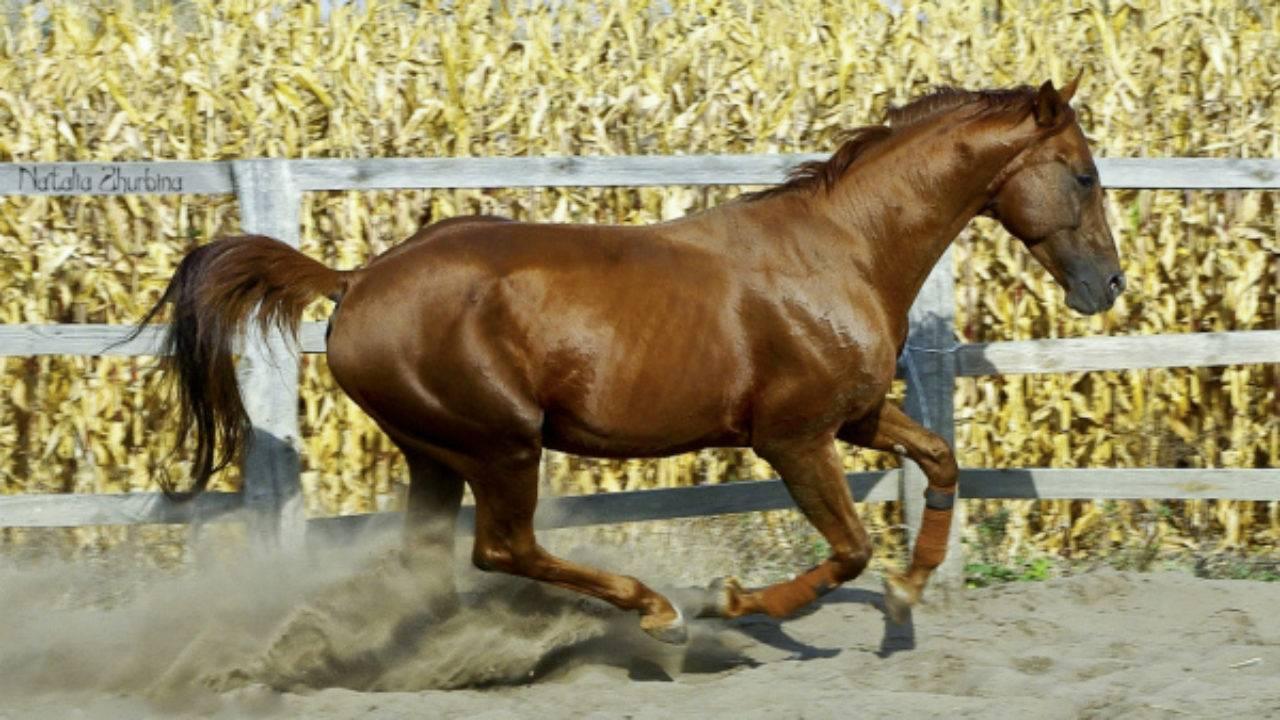 Какую скорость развивает лошадь?