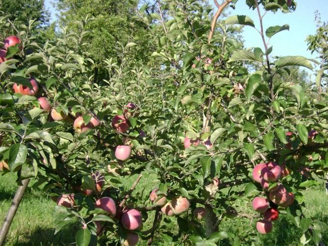 Яблоня осеннее полосатое: особенности сорта и ухода