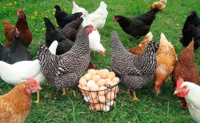 Почему у кур несушек мелкие яйца и как исправить