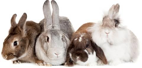 Чем отличается декоративный кролик от обычного