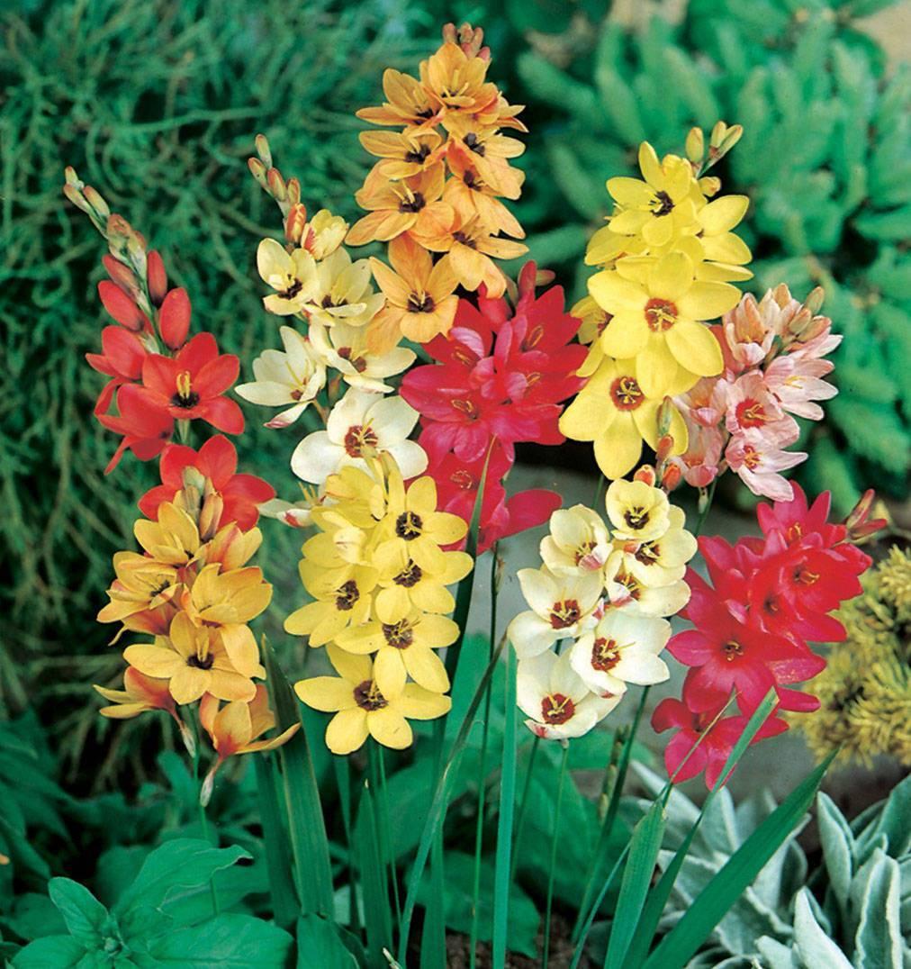 Цветок годеция: уход, особенности посадки в открытом грунте