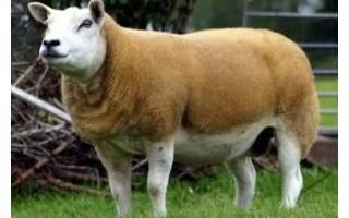 Какие овцы самые крупные в мире?