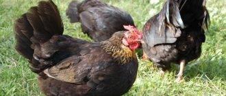 Эстрофан: инструкция к препарату для коз, правила применения, возможные побочные реакции