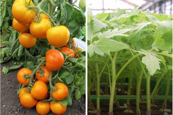 Чистое золото в помидорной теплице — описание гибридного сорта томата «золотая теща»