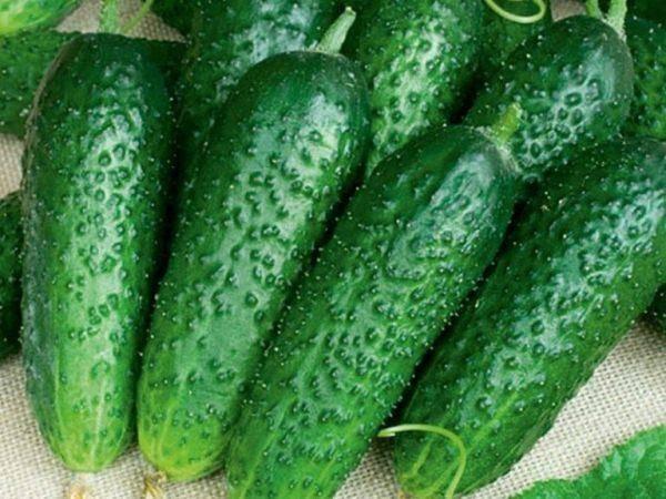 Описание сорта огурцов салинас, его характеристика и урожайность