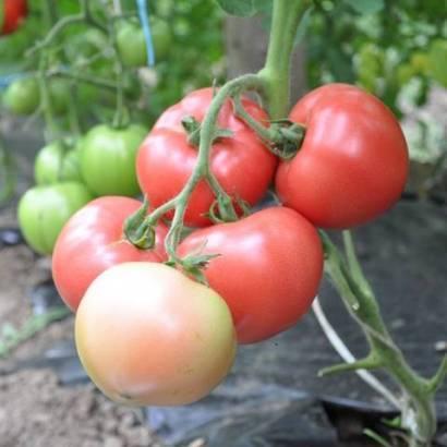 Ребристый томат ругантино f1: характеристики, описание, отзывы