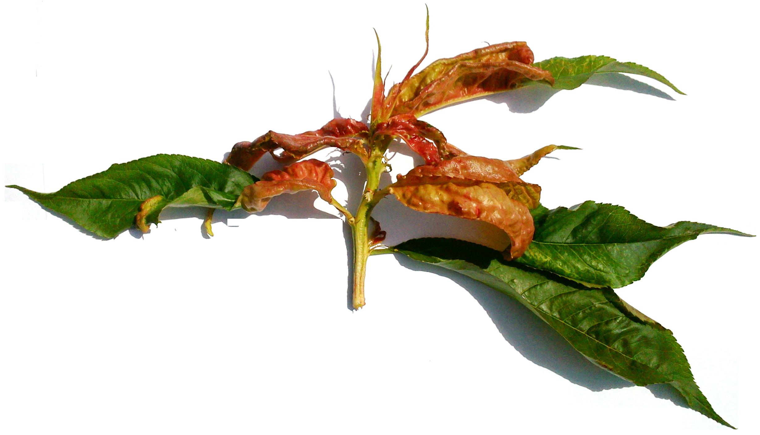 Болезни и вредители персика: находим и ликвидируем поражения