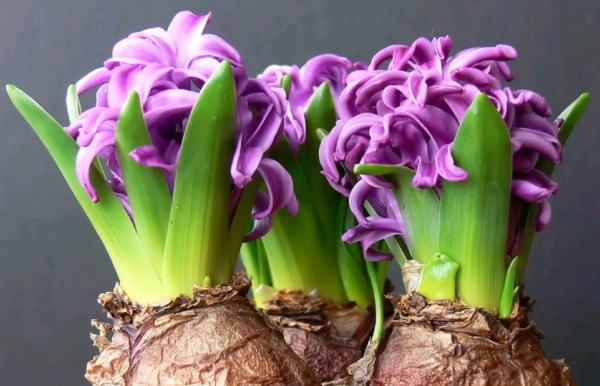 Луковица гиацинта, ее выкопка, хранение и осенняя посадка