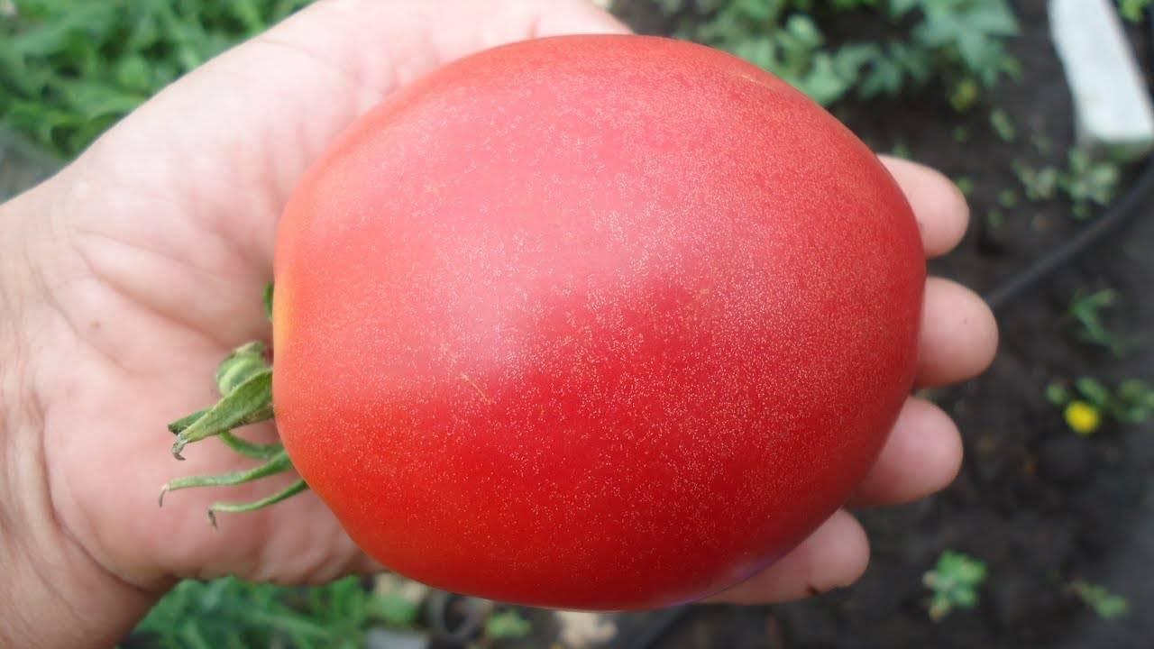 Томат бабушкина гордость: характеристика и описание сорта, урожайность с фото
