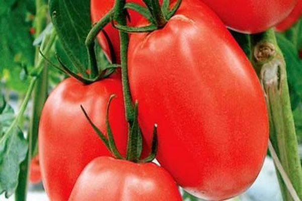 Томат дуся красная: характеристика и описание сорта, отзывы