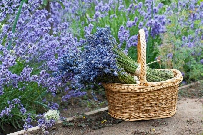 Лаванда: выращивание и уход в открытом грунте