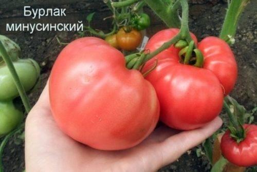 Набирающий популярность среди дачников томат «лель»
