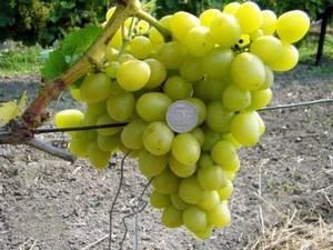 Описание сорта винограда Аркадия и характеристики урожайности, посадка и уход