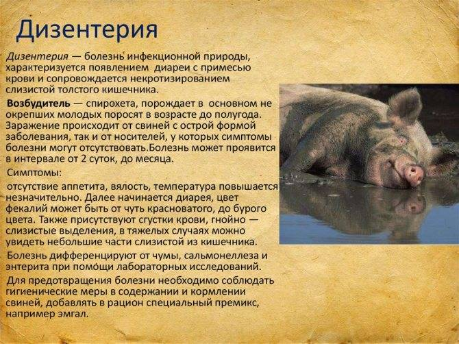 У свиньи температура: чем лечить?
