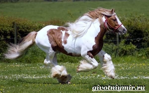 Шайр — лошадь