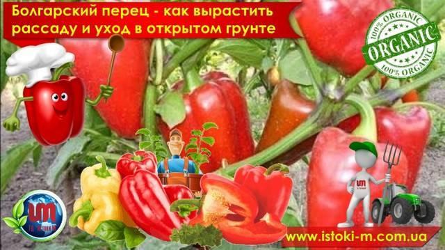 Подкормка перцев в теплице и в грунте