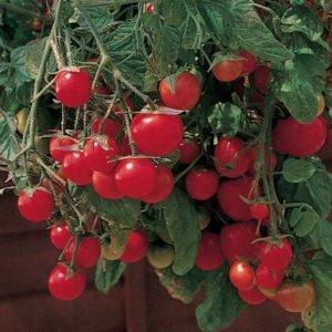 Томат красотка f1: характеристика и описание сорта, его урожайность с фото
