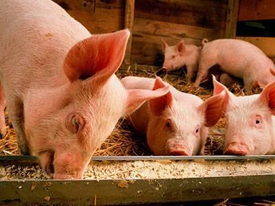 Температура у свиней чем лечить