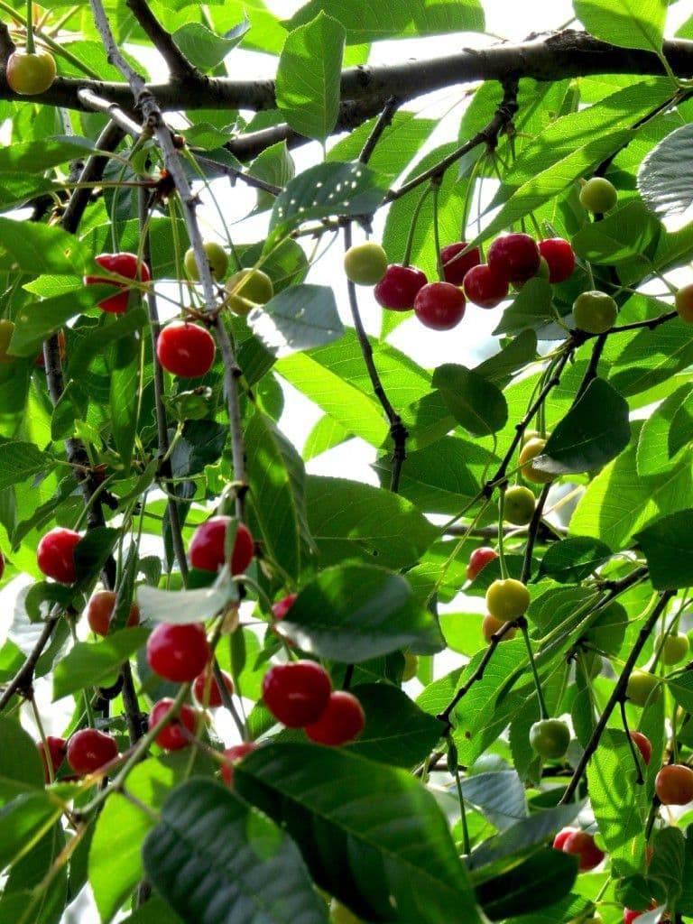 Описание и характеристики сорта вишни Фея, особенности выращивания и ухода