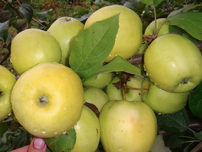 Сорт яблони чудное — чудо чудное, диво дивное!