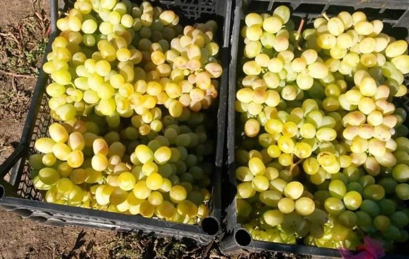 Сорт винограда «ланселот»