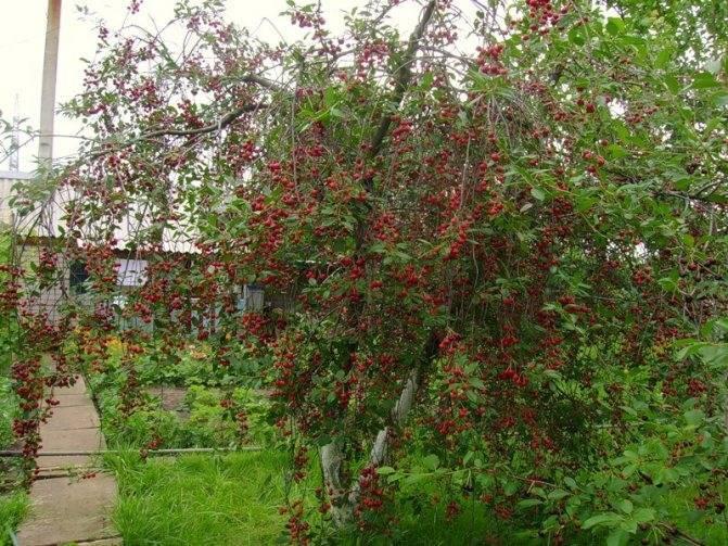 Описание и фото сорта вишни любская: ее достоинства и недостатки